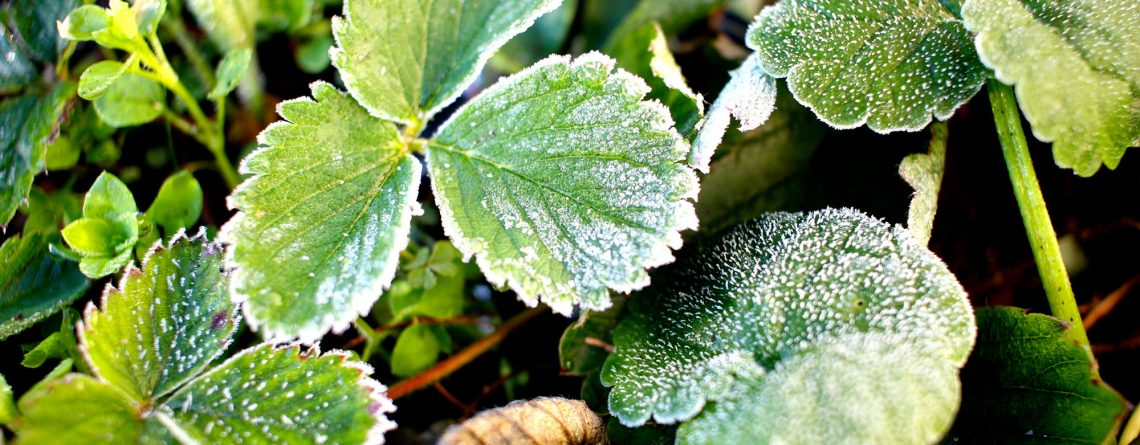 strawberry plants with frost