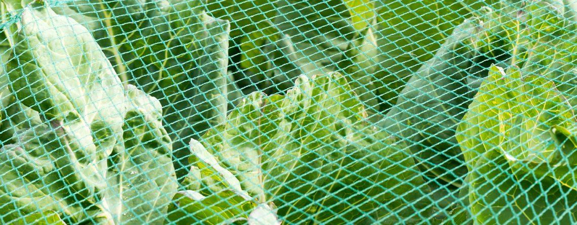 lettuces under netting