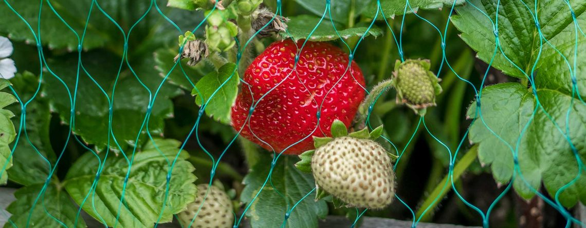 strawberry protected with netting