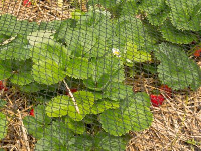 Strawberries under netting